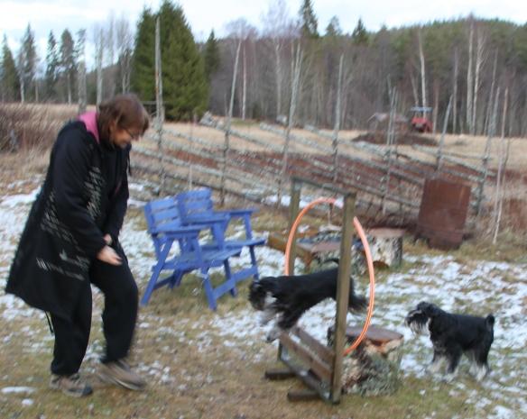 Att träna två hundar samtidigt  :)