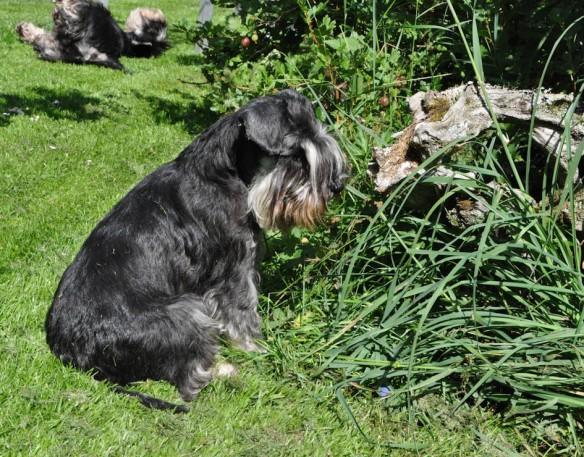 Ruffa vaktar mus i buske