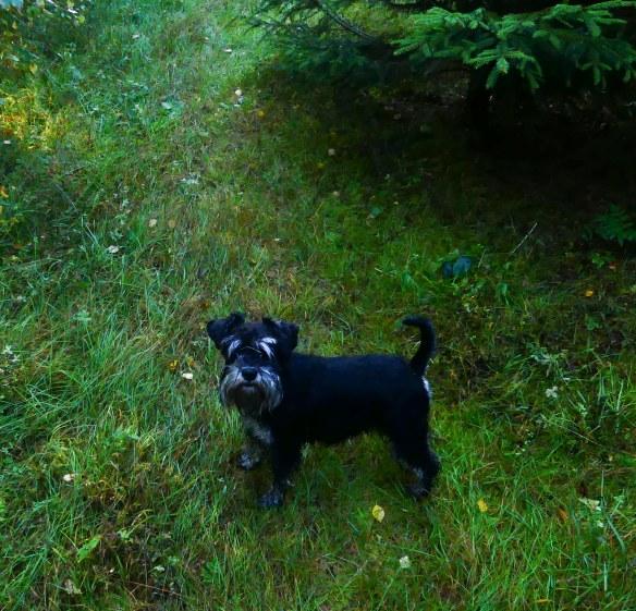 Hedda i skogsplanteringen 20180911