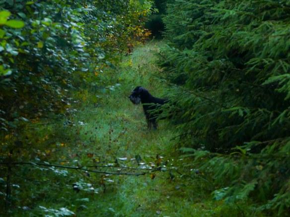 Ruffa i skogsplanteringen 20180911