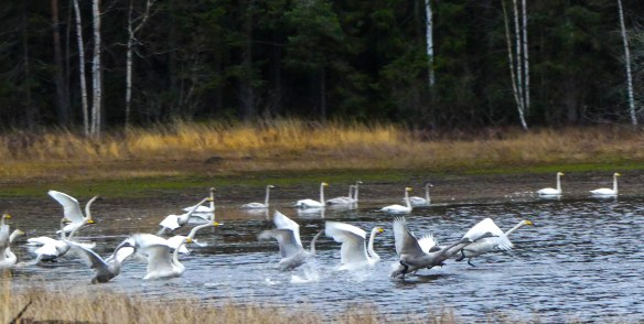 Natur svanar hostflytt4 20181115