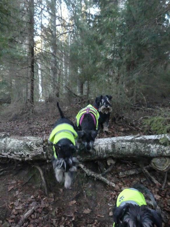 Ruf hoppar i skogen 201811122